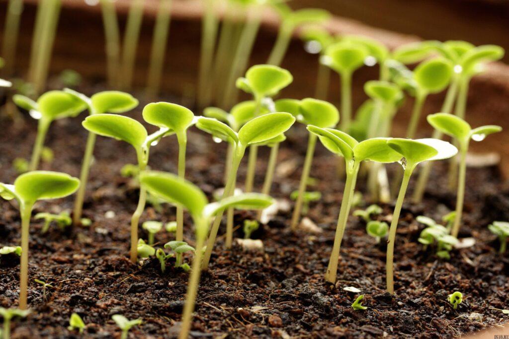 проращивание семян в грунте