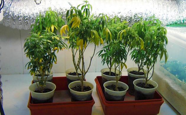 листья выглядят вялыми желтеют и опускаются