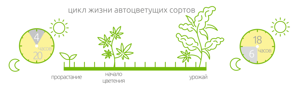 цикл жизни автоцветущих сортов