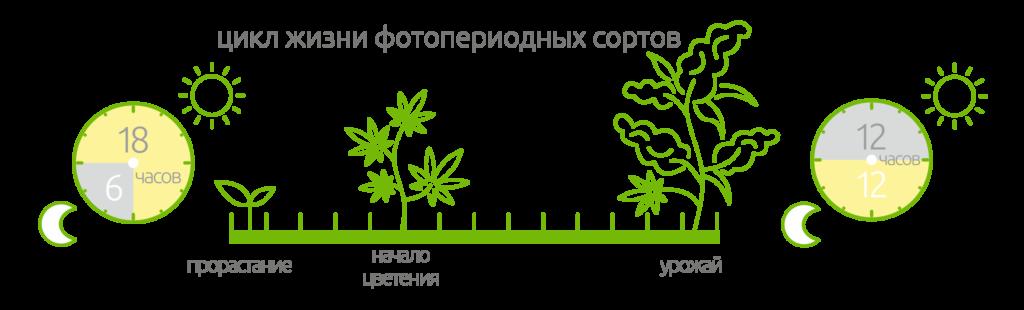 цикл жизни фотопериодных сортов